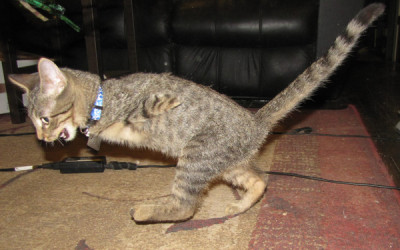 Mercury, The Tenacious T-Rex Kitty. SO CUTE