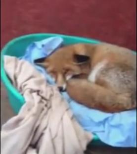 Dawn the Fox
