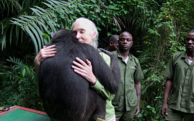 You Won't Believe This Chimp's Reaction To Being Set Free