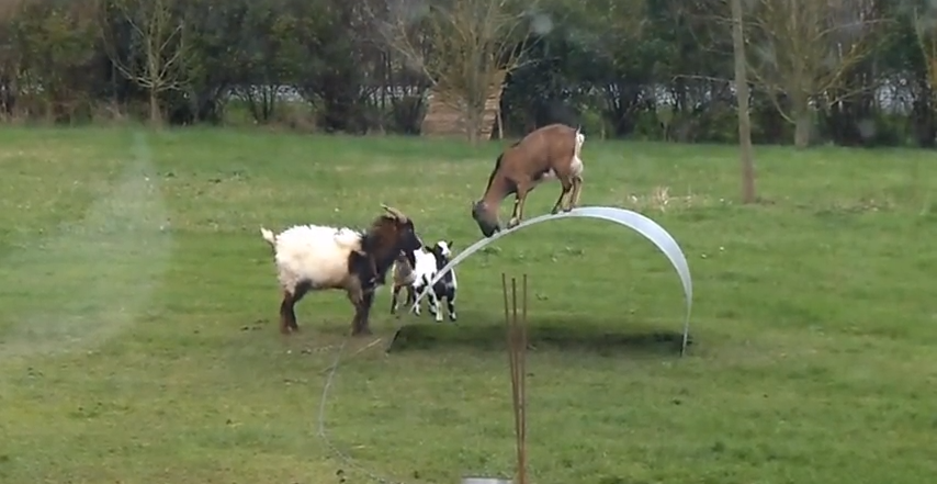 These Goats Are Having More Fun Than I've Had In Years. Wait Till You See It!