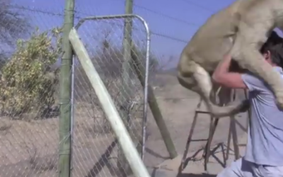 In the First 3 Seconds, This Huge Lion Pounces. What Happens Next Made Me Gasp