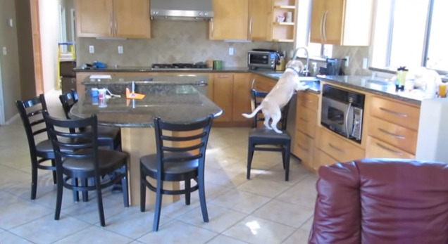 This Beagle Will Move Heaven and Earth For Chicken Nuggets After Her Owner Leaves