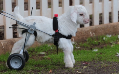 Watch A Baby Snow Goat Take His First Steps In His Itty Bitty Wheelchair