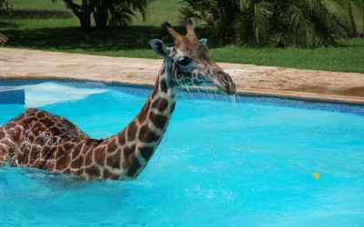 It Was Hot Out, and This Giraffe Decided To Take a Dip – Photos Are Adorable!