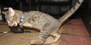 Mercury, The Tenacious T-Rex Kitty. SO CUTE